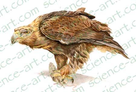 Aquila-chrysaetos-large