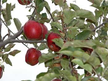 Apples-on-high