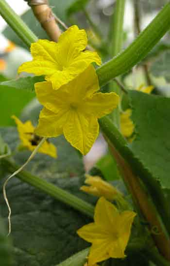 Cucumbers-yet-to-be