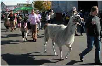 Camelidparade