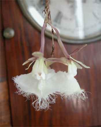 Epidendrumillense