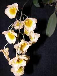 Dendrobiumlindenii