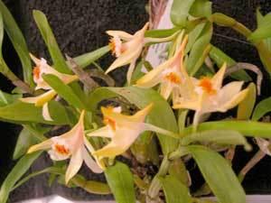 Dendrobiumwilsonii