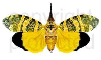Lanternbug